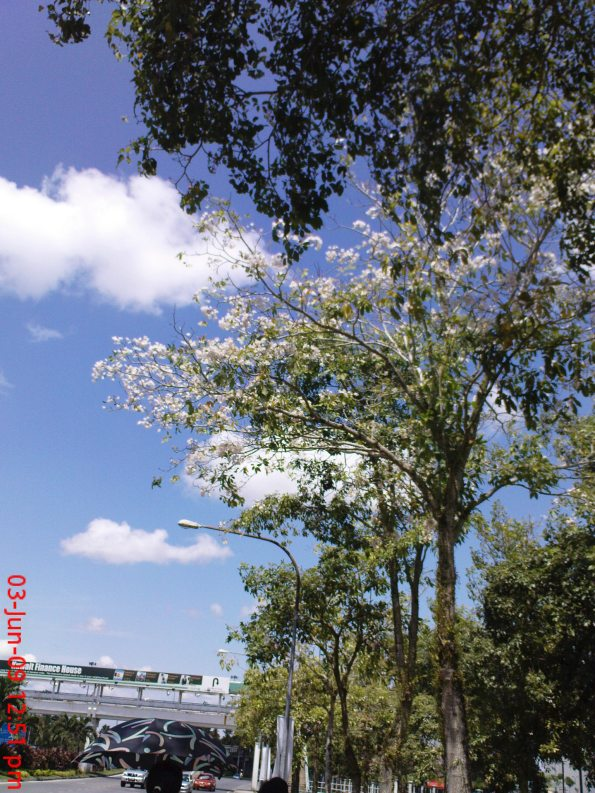 030609 Beautiful Blossom Tree