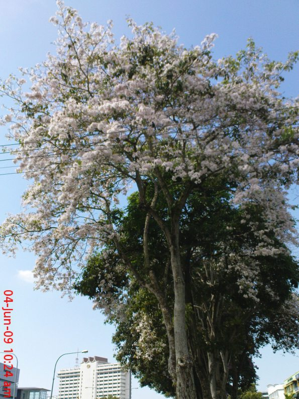 Beautiful Blossom Tree at Simpang Tiga Road